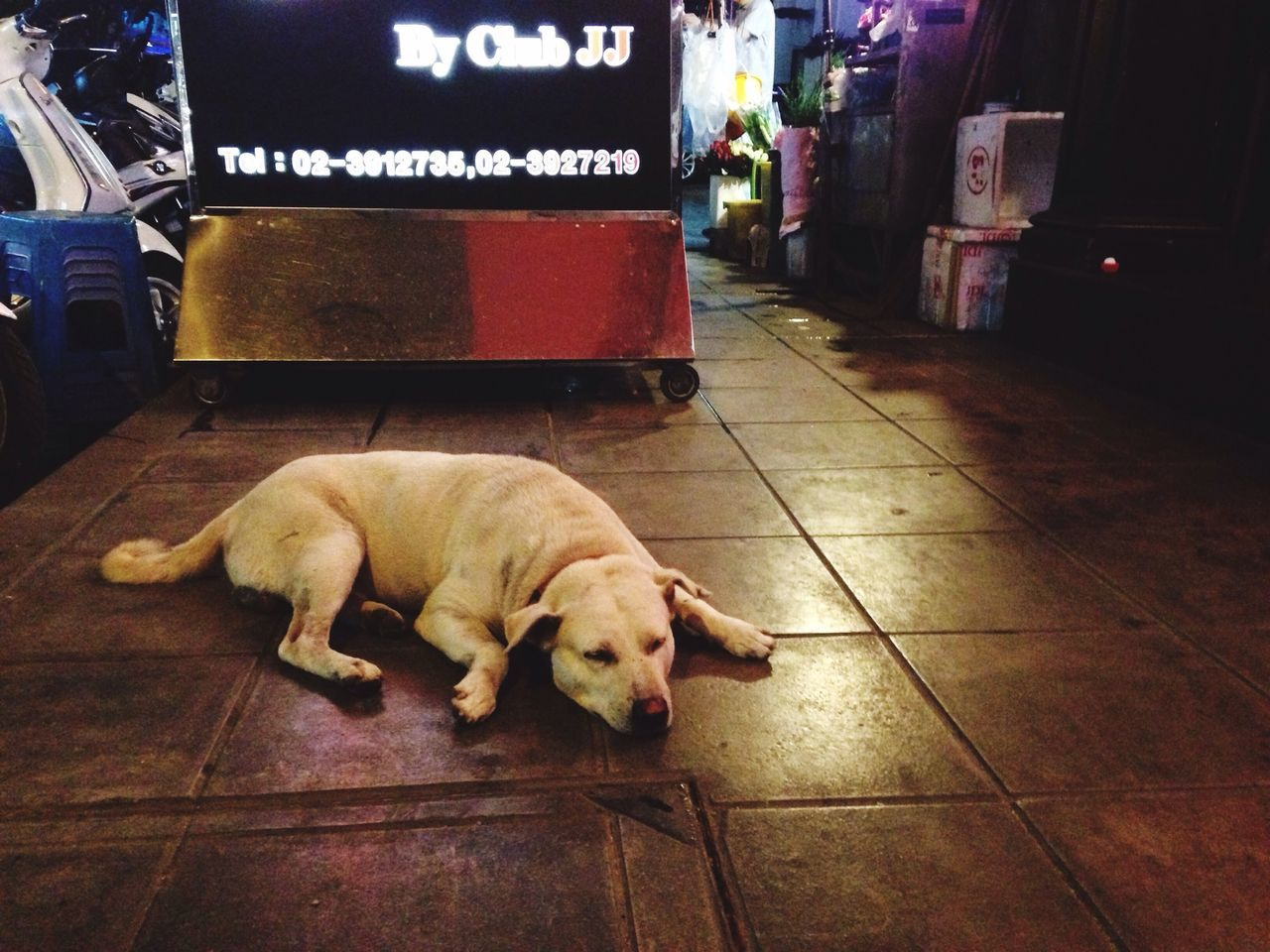 Dog pub Chill Dog In Front Of Pub On Footpath Sleepy Thai Street Dog White Dog Thai Dog Happy Sleep Thonglor Sukhumvit 55 Bangkok Night Life