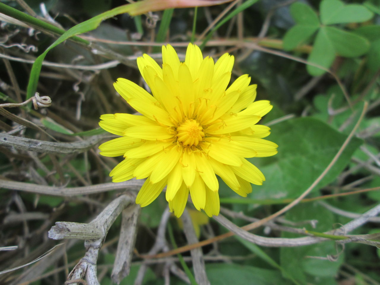 flower, yellow, fragility, nature, beauty in nature, growth, petal, plant, freshness, flower head, outdoors, close-up, no people, blooming, day