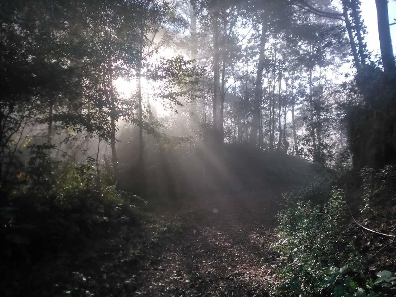 Rayos de sol Rayos De Sol Bosque Neblina Pinos Naturaleza