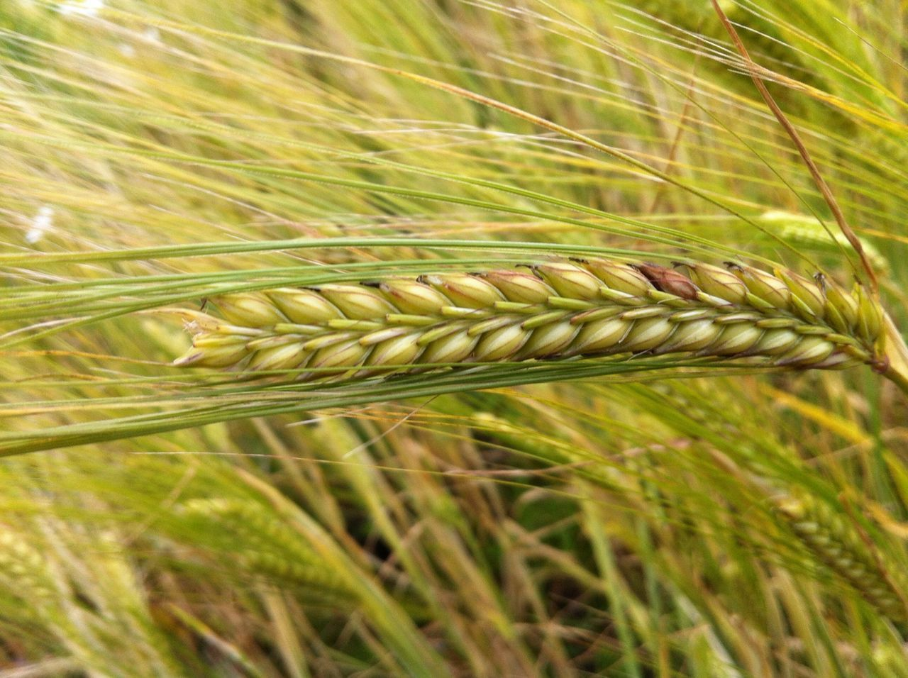 Close-Up Of Fresh Barley In Field