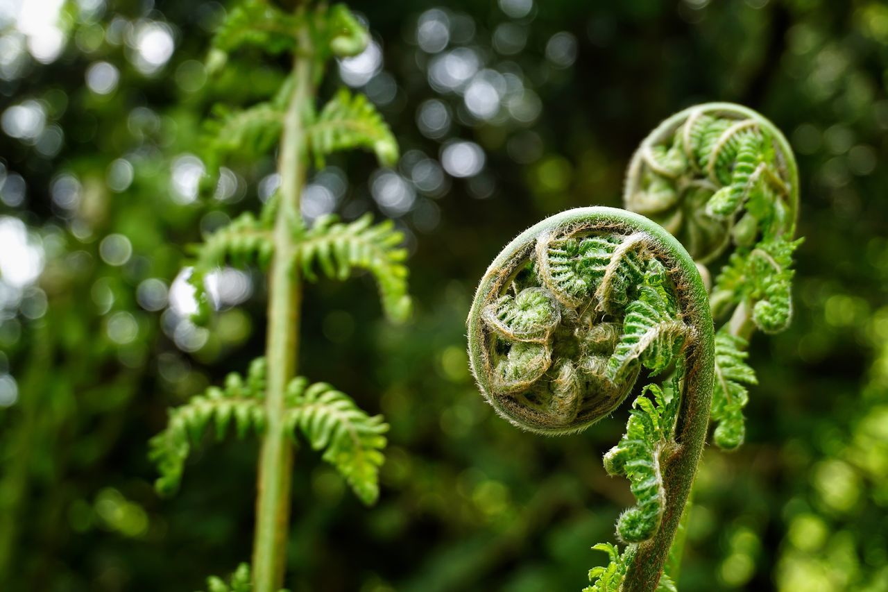 Fern Ferns Growth Plant Beauty In Nature Outdoors Nature Focus On Foreground Bokeh Bokeh Photography Green Color Green Bud Curl Curled Up Greenery Growing Freshness Growth