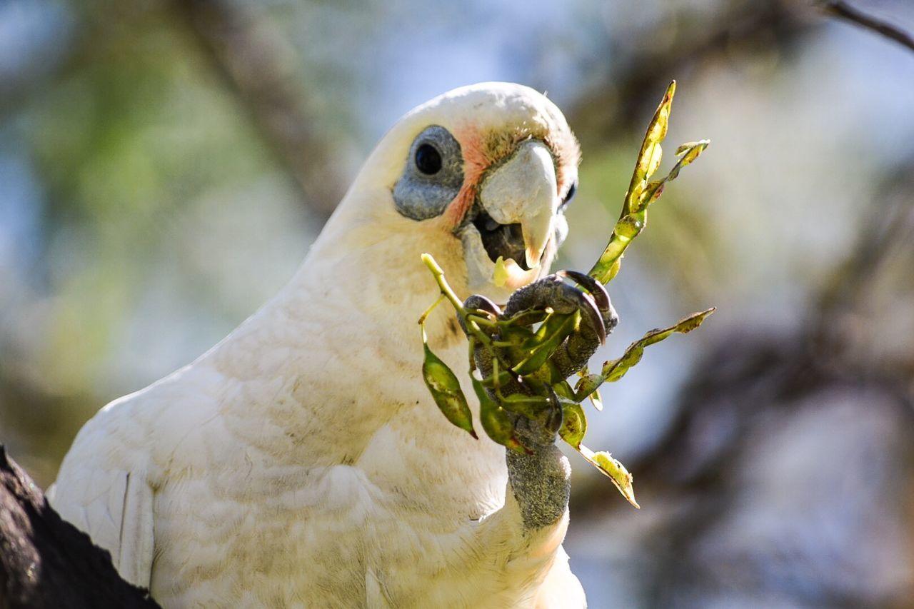 Meal Time Eating Eating Out Enjoy Eating Birds Cockatoo Birds Of EyeEm  Bird Photography EyeEm Birds