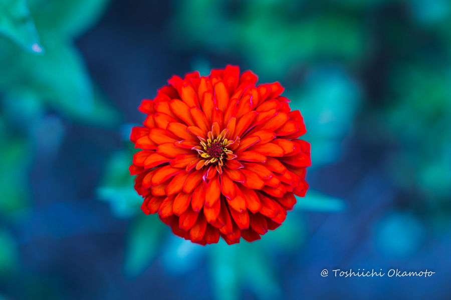 Orange Flower Beauty In Nature Blooming Close-up Day Flower Flower Head Focus On Foreground Fragility Freshness Growth Nature No People Outdoors Petal Plant Red Zinnia