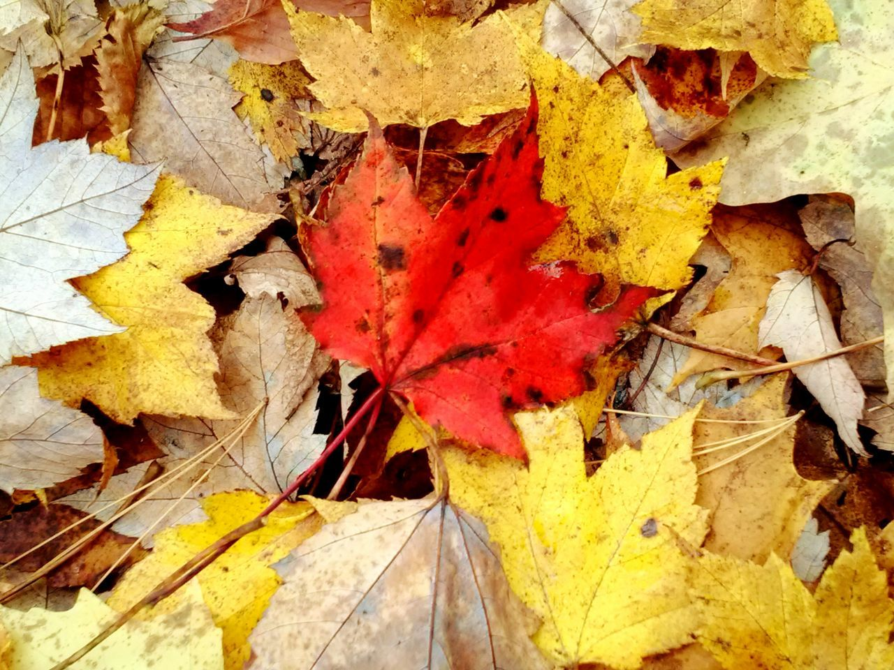 autumn, leaf, change, dry, yellow, maple leaf, fallen, close-up, no people, fragility, maple, backgrounds, large group of objects, group of objects, nature, day, outdoors, white background
