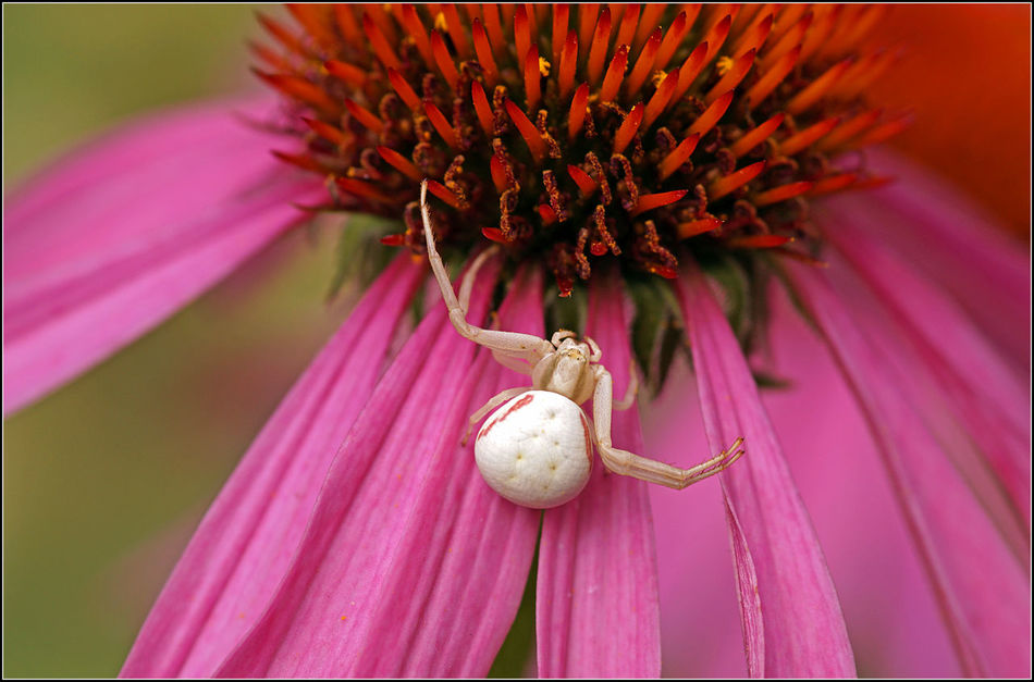 Crab spider waiting on a flower... Beauty In Nature Close-up Crab Spider Echinacea Purpurea Flower Insect Nature Petal Pink Pink Color Spider White