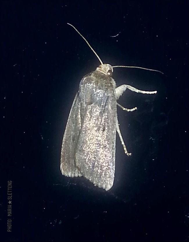 Night Moth Moth Night Nature Summer Night