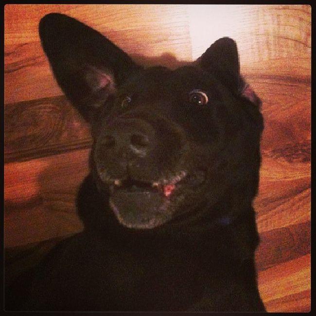 Weirddogsofinstagram Dogsofinstagram Lab Blacklab funnypuppy funnyface