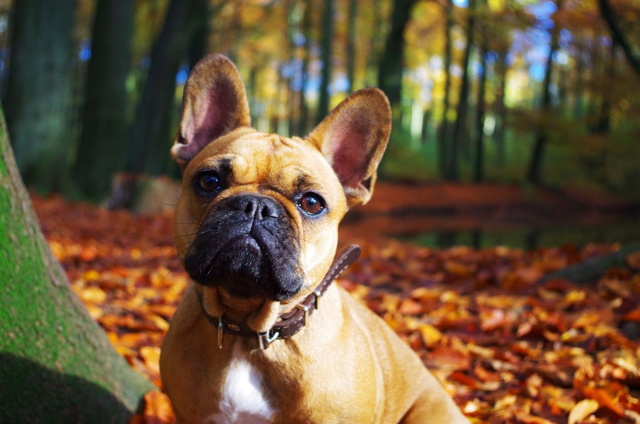 ❤️ Frenchbully Frenchielove French Bulldog Frenchie Frenchbulldog I Love My Dog Dog Walking With My Dog Dog Love A Walk In The Woods
