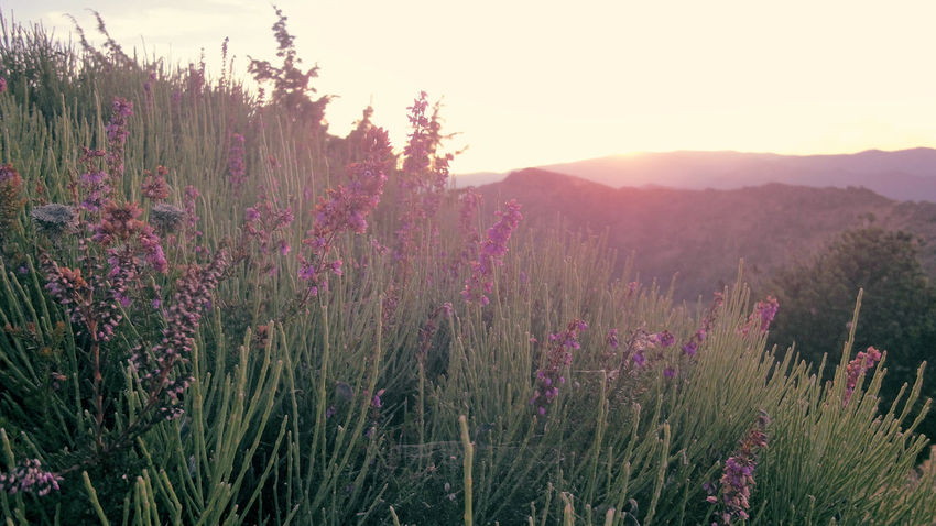 Beauty In Nature Change Field Flower Fragility France Growing Growth Hicking L'Estréchure Lavender Lavenderflower Lavendermountain Mountain View Mountains Nature No People Outdoors Plant Provence Purple Stem Sunset Tranquil Scene
