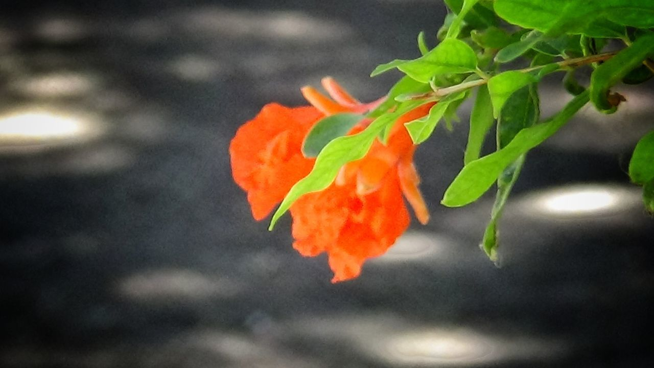 leaf, plant, growth, orange color, fragility, flower, no people, beauty in nature, nature, outdoors, freshness, close-up, petal, day, flower head, blooming