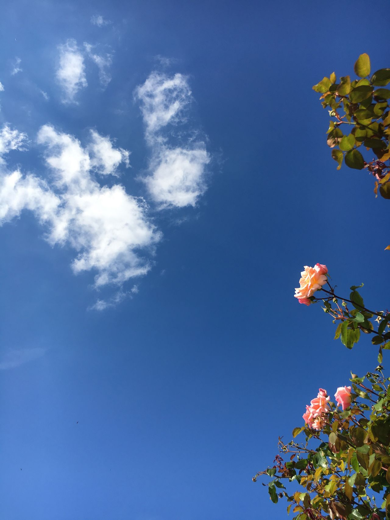 Blue summer skies Blue Flower Tree Freshness Sky Beauty In Nature Nature Day Summer rose Rose Bush clouds Blue Sky And Clouds Blue Sky White Clouds Blue Sky And White Clouds Blue Skies Roses Blue Sky Thinking First Eyeem Photo