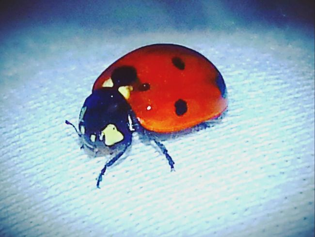 Insect Critter A Bugs Life Ladybug Insect Photography Insects Collection Bugs Outdoors Hello World