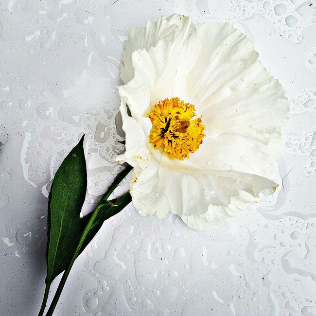 California Poppy Flower Rain White Flower