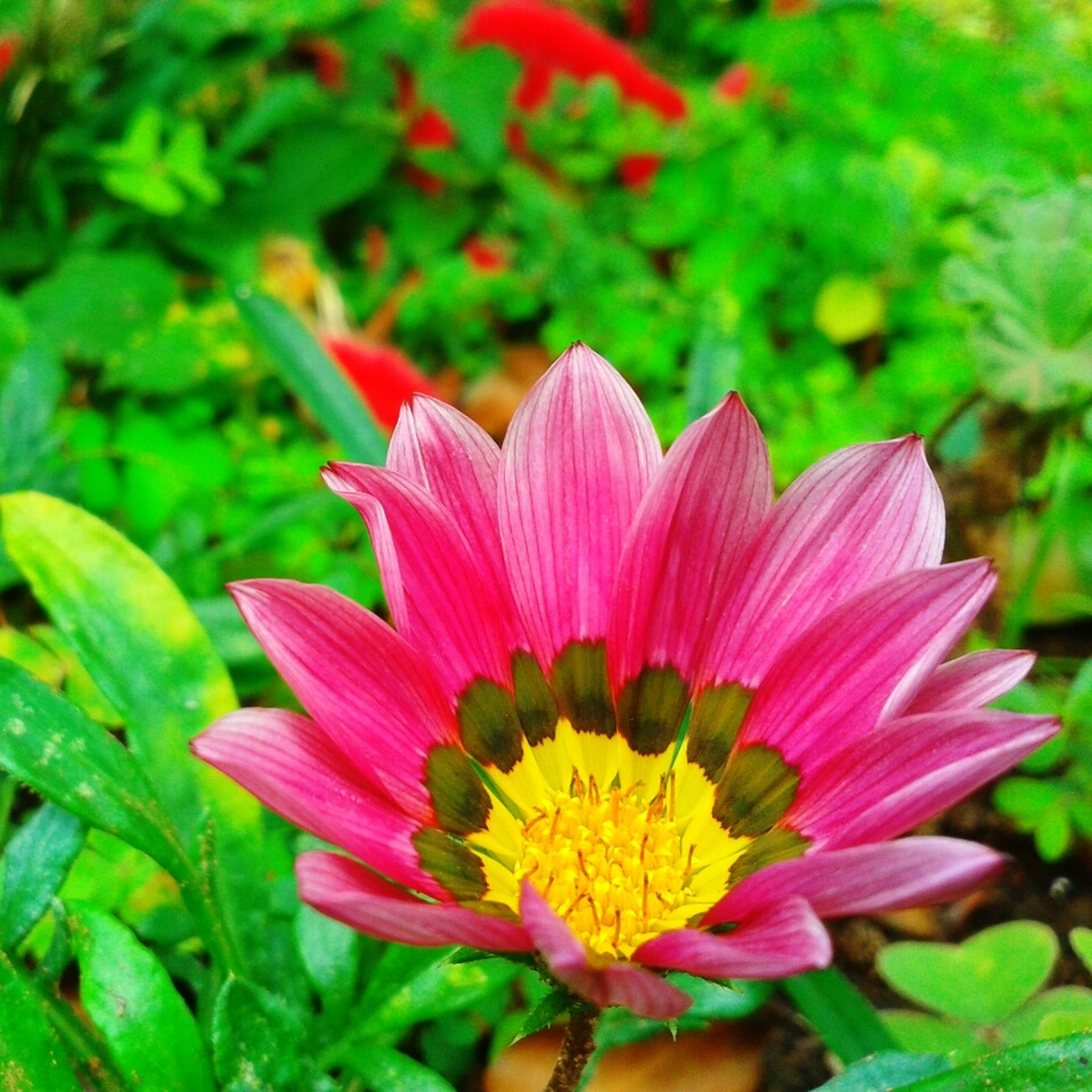 flower, petal, freshness, flower head, fragility, growth, beauty in nature, blooming, focus on foreground, close-up, pollen, single flower, nature, plant, pink color, in bloom, yellow, park - man made space, red, day