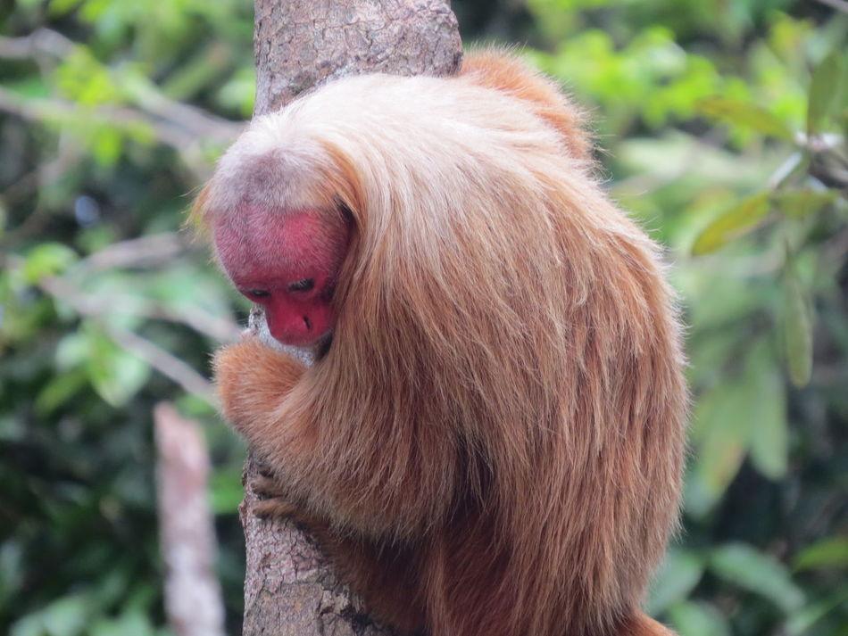 Amazon Amazon - Brazil Amazon Monkey Amazon Rainforest Amazonas Animal Photography Animals In The Wild Beauty In Nature Close-up Monkey Nature At Its Best Nature Up Close One Animal Primate Red Face Red Face Monkey