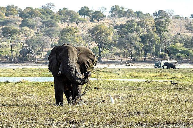 Chobenationalpark Chobe Botswana Africanelephant GameDrive Safari Mydreamdestinatio Africa Animal Travel Travel Destinations Hello World Fresh And Clean Big Five Ilovemylife Photooftheday Vocation Enjoying Life
