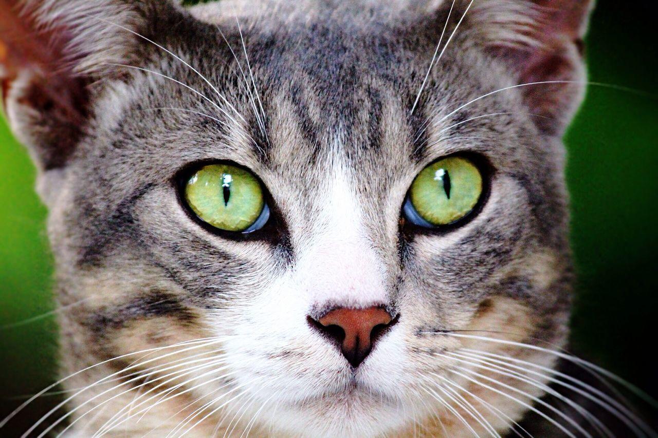 Beautiful stock photos of body piercing, Alertness, Animal Eye, Animal Themes, Cat