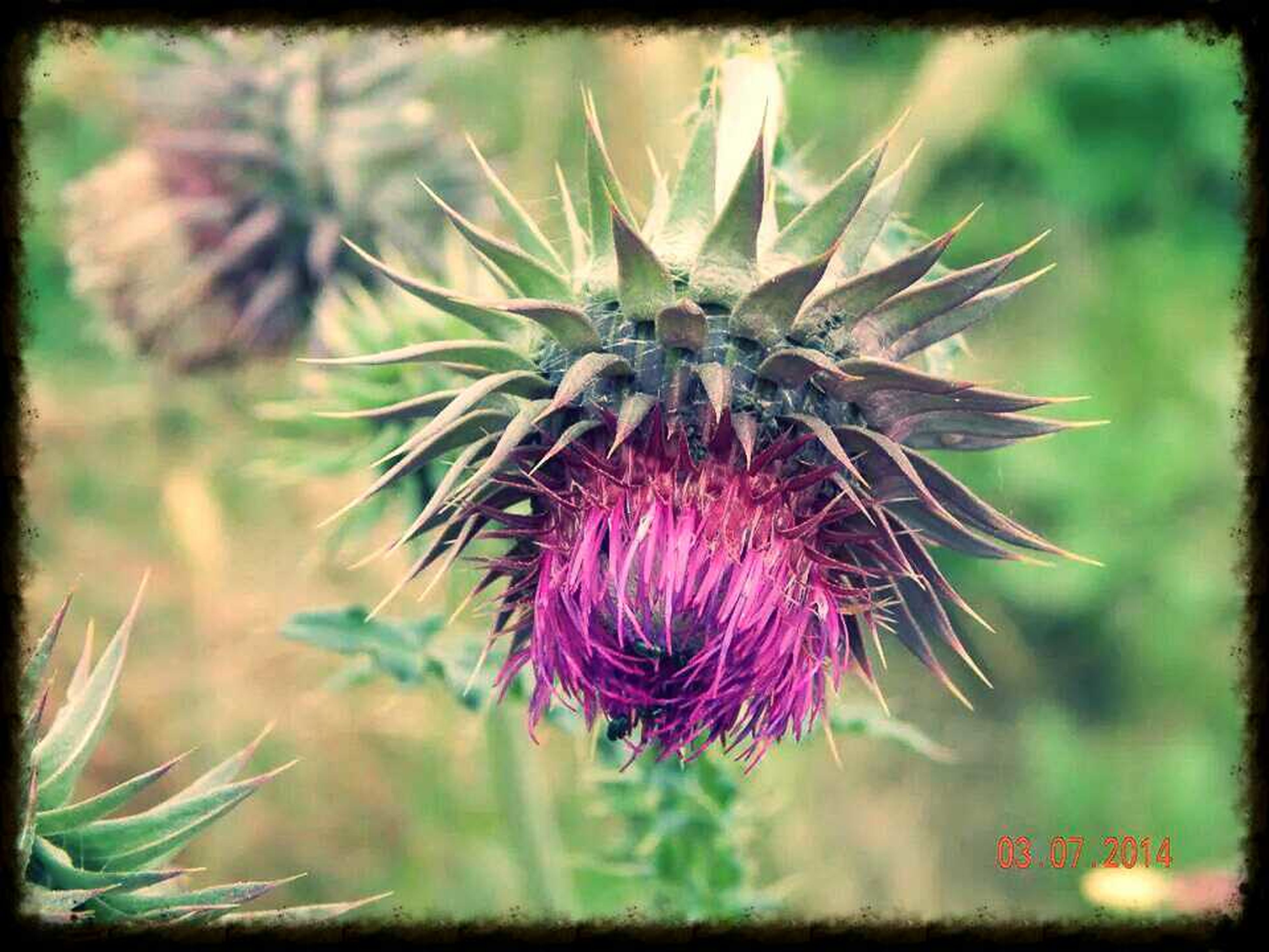 growth, flower, close-up, freshness, focus on foreground, plant, nature, beauty in nature, thistle, auto post production filter, pink color, fragility, transfer print, stem, red, selective focus, outdoors, spiked, no people, day