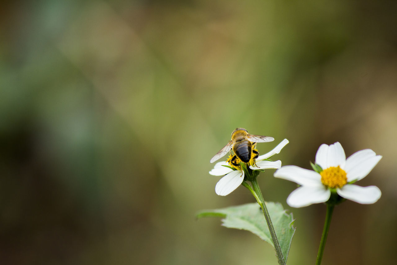Bee Pollinating On White Flower At Park