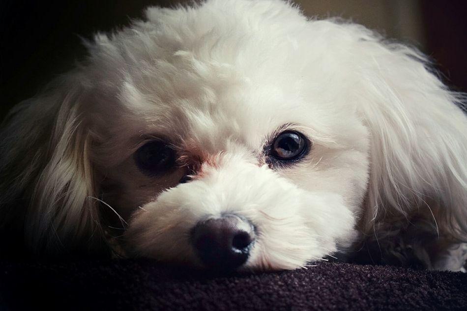 My lil Alfie the bichon. Bichon Bichon Frise Bichon Poo Bichonmix Dog Dog Photo Dog Photography Dogs Of EyeEm Animal Themes Dog❤ Bichonfrise EyeEm Best Shots
