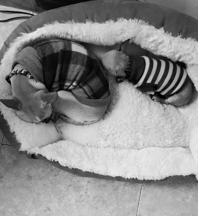 ZzZzZz Chihuahua Puppies Chihuahualovers My Babies Lovemydogs Sleepingbeauties Monochrome Blackandwhite