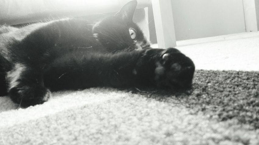 Cat Animal Black & White Blackandwhite BLackCat Whiskers Stretching Cat Critter Cute Cats Sunshining