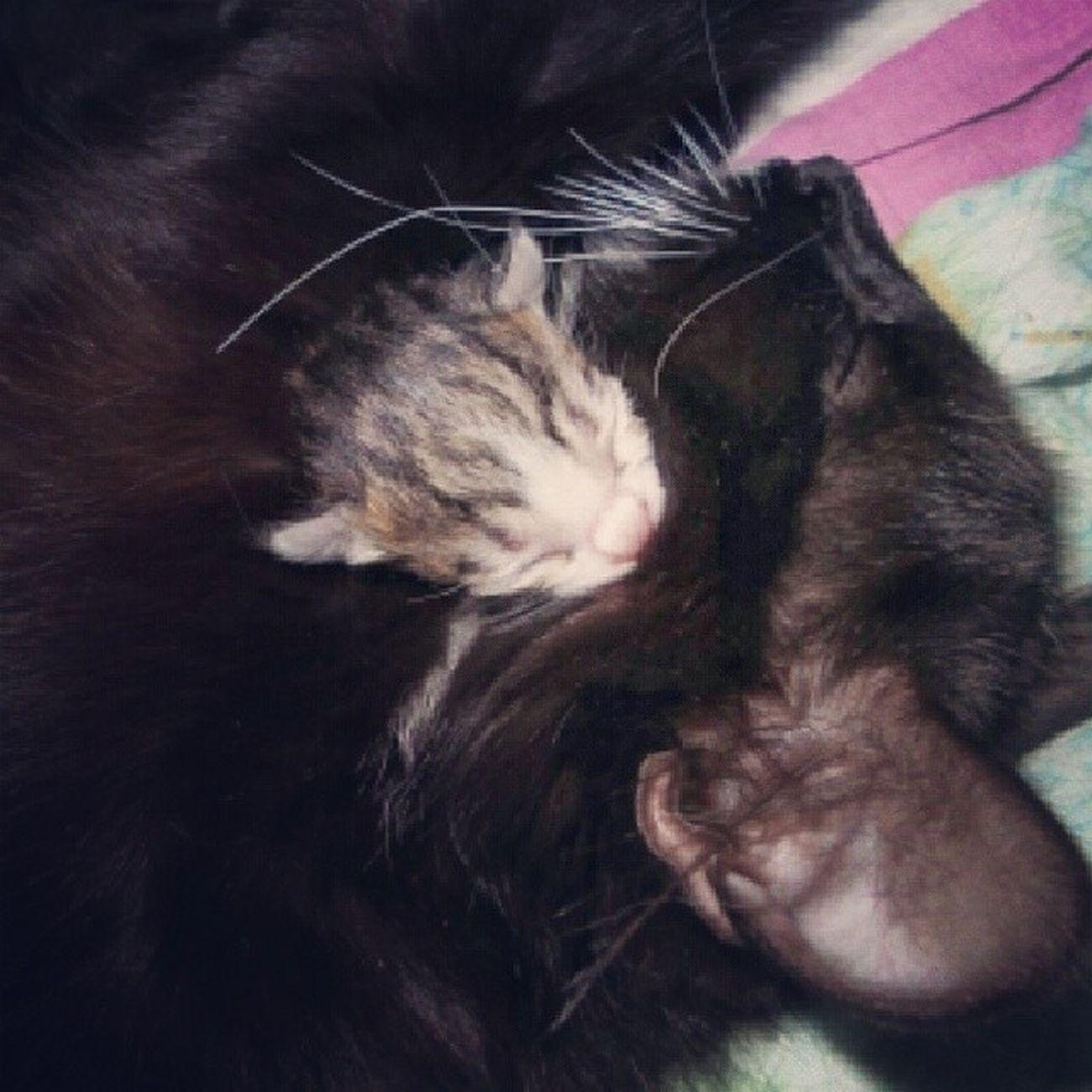 Anne Ogul Uykuda Kedi duman cat kittens belereisimbul