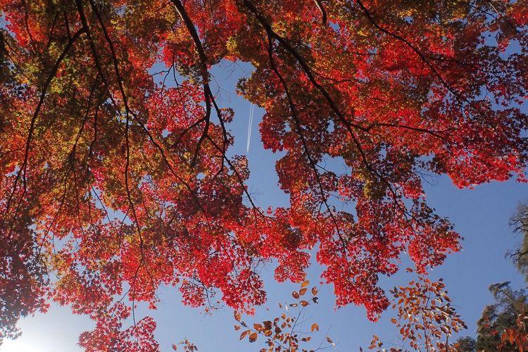 Shousenkyou Autumn Momiji Kouyou Contrail Maple Leaf
