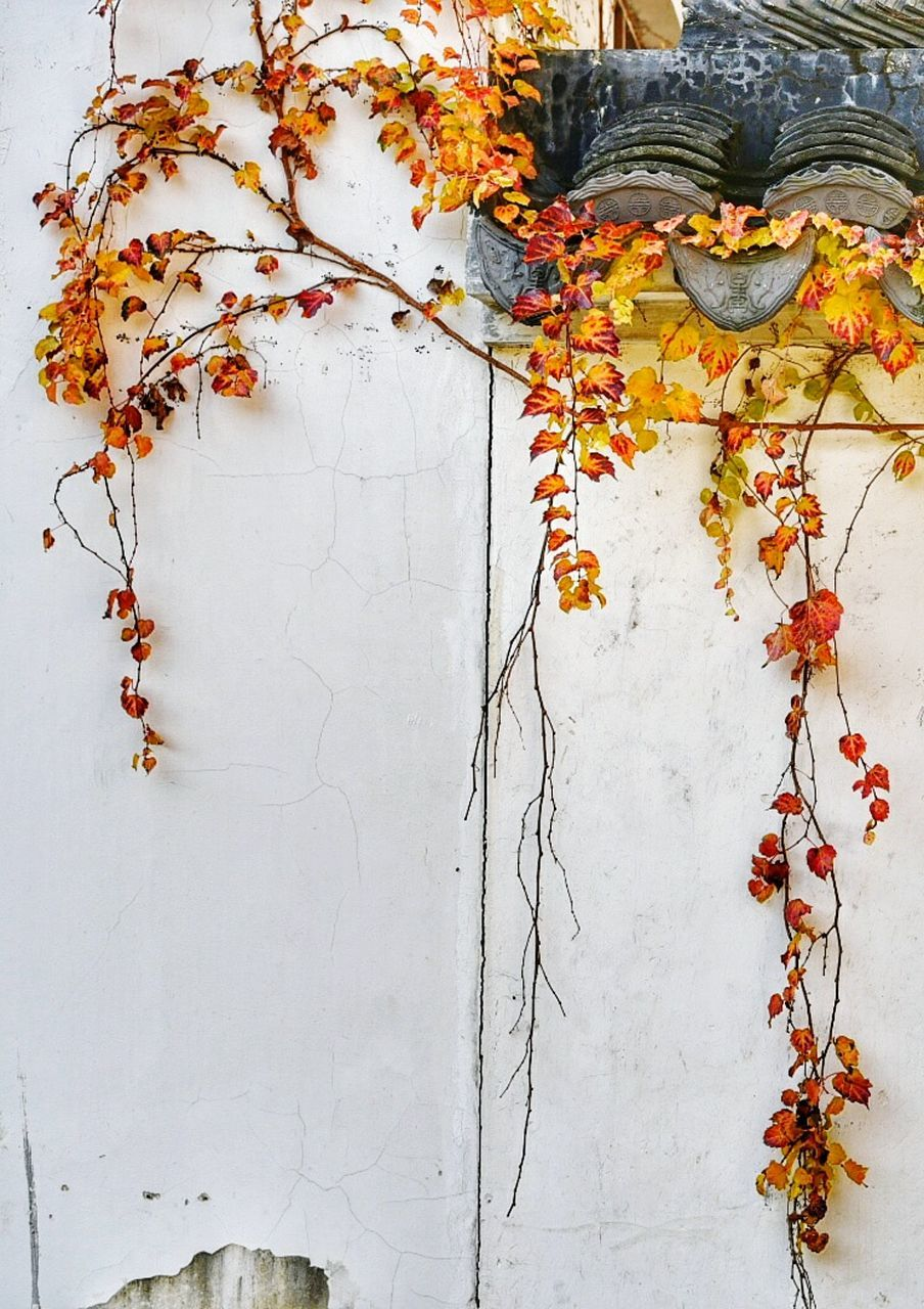 autumn, leaf, leaves, change, ivy, growth, creeper, nature, branch, flower, plant, no people, day, outdoors, beauty in nature, architecture, fragility, tree, close-up, freshness