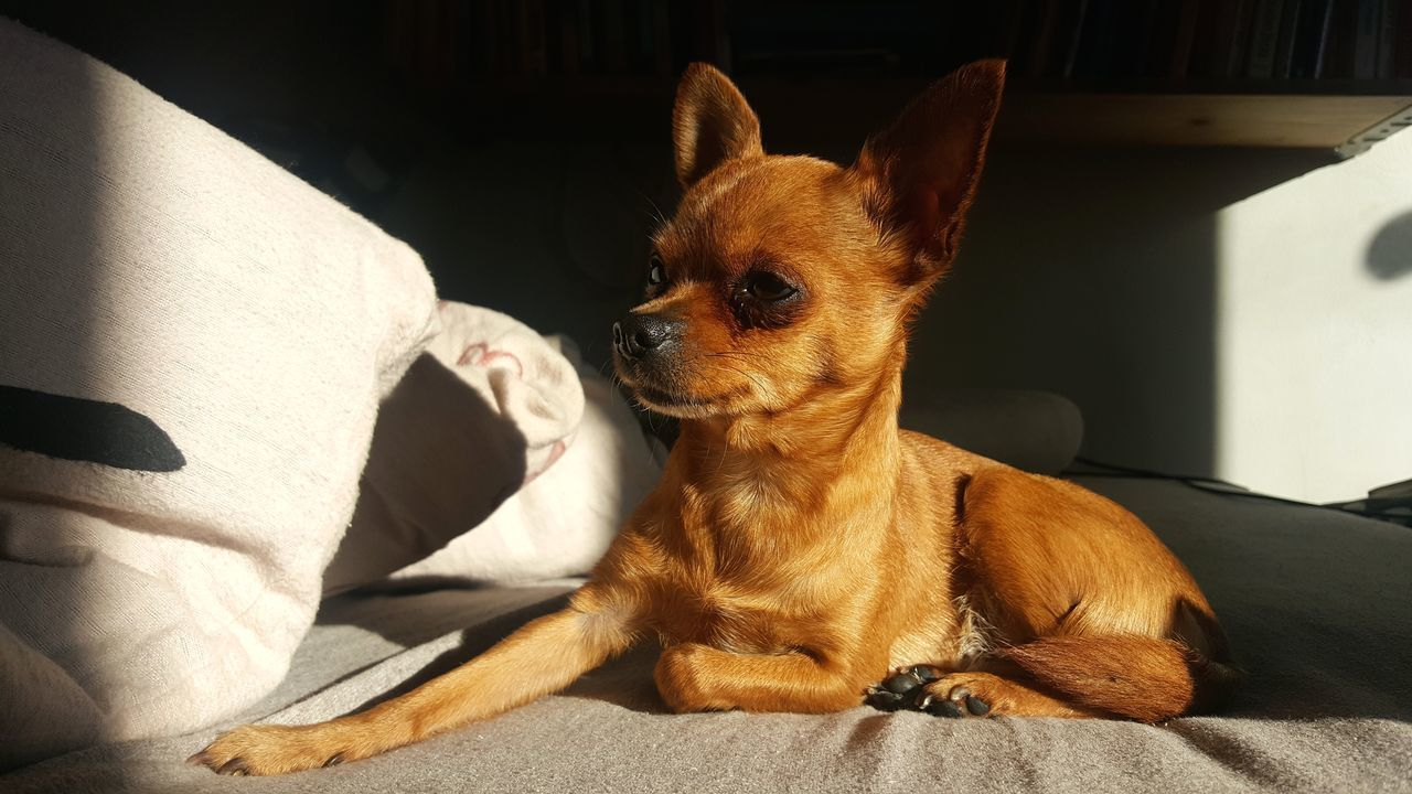 Portrait Pets Indoors  Mammal Domestic Animals Close-up Animal Themes Day Stuffed Toy On Bed Bed Dog Little Dog Chiuahua Ratter Prague Ratter Pet Small Dog Brown Beige Furry Friends Sun Light Chilling Mongrel Pet Portraits