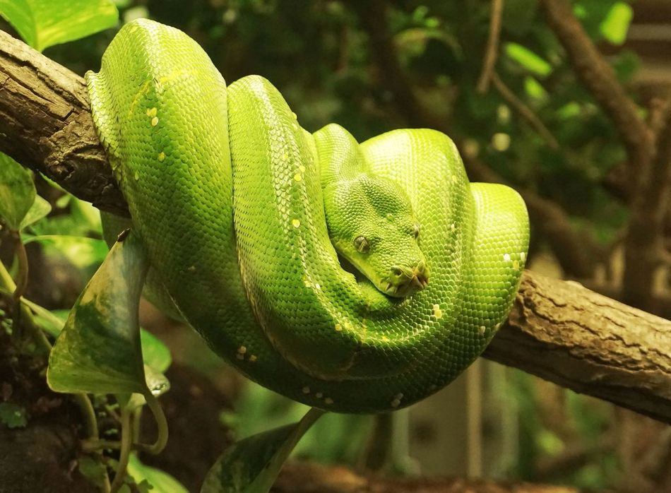 Snake Animal Themes Animal Schlange  Green Beauty In Nature One Animal Reptile Day Buetiful First Eyeem Photo