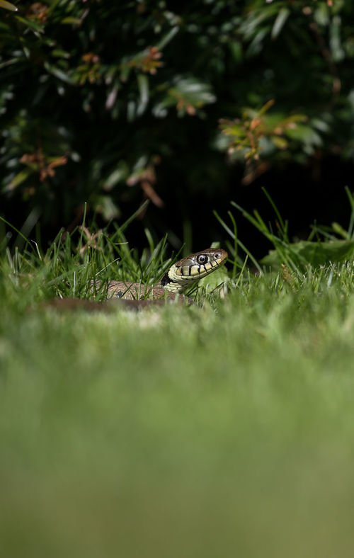 Grass Animals In The Wild Animal Themes No People Outdoors Green Color Animals In The Wild Reptile Wildlife Wild Nature Water Living Organism Beauty In Nature Natgeowild Grass Snake