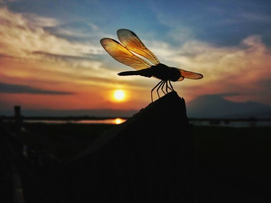 Dragonfly Dragonfly Dragonfly Collection Macro Macro Photography Macro_collection Macro Nature Macroshot Macro Beauty Landscape Outdoors Sky Sunset Silhouette EyeEm Gallery Eeyem Photography EyeEmNewHere Eeyem Market Eeyemgallery Eeyem Photo