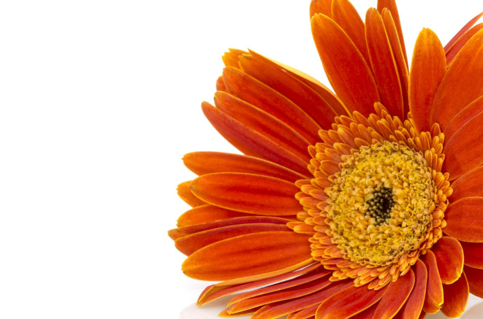 Orange gerbera daisy (transvaal) flower on white background, Beauty In Nature Close-up Day Flower Flower Head Fragility Freshness Growth Nature No People Orange Color Outdoors Petal Pollen Studio Shot White Background