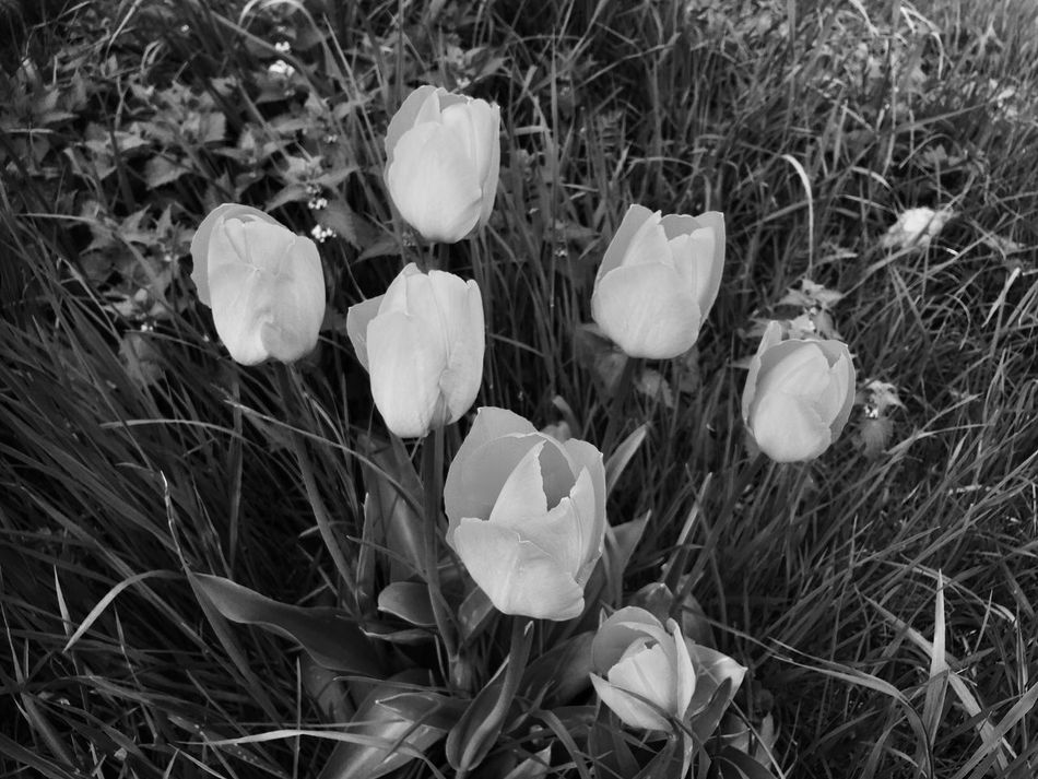 Plant Nature Fragility Flower Growth Grass No People Snowdrop Outdoors Beauty In Nature Crocus Close-up Day Freshness Flower Head Nature Photography Taking Photos Bkackandwhite Monochrome Blackandwhite EyeEm Nature Lover Tulips