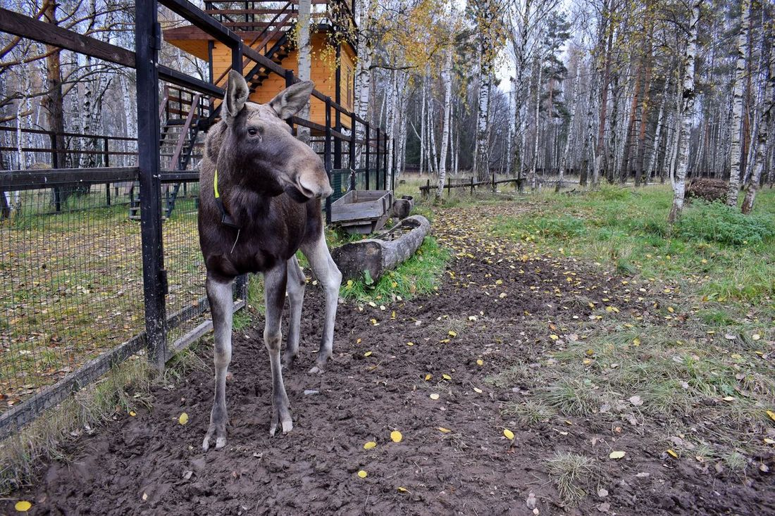 Elk biostation Tree Animal Themes Mammal One Animal Outdoors No People Nature Field Pets Day Wildlife & Nature Elks Elk Biostation Elk Nature Photography Animal Photography EyeEm Nature Lover Done That.
