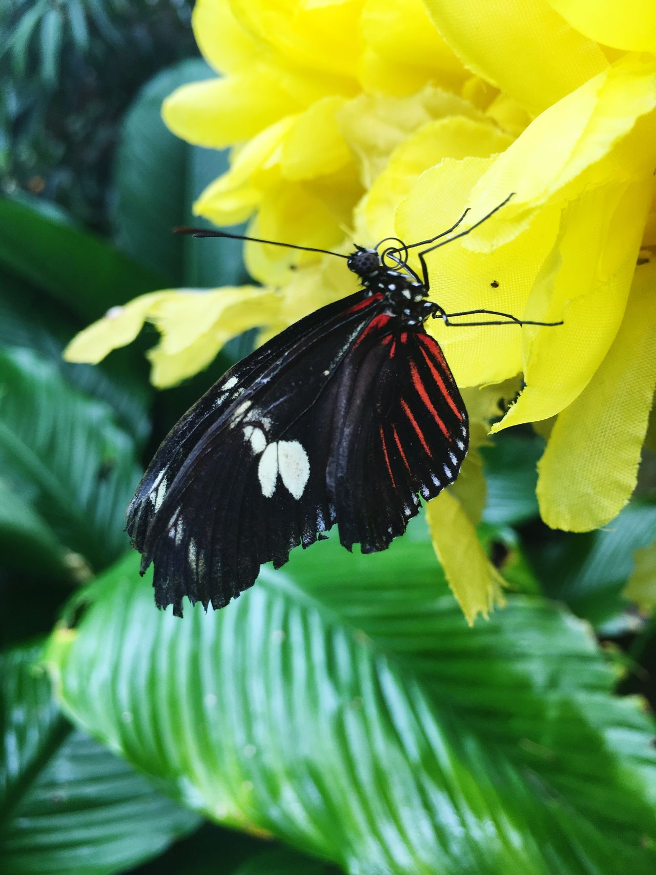Butterfly Insect Animal Themes Animals In The Wild Butterfly - Insect One Animal Fragility Flower Animal Wildlife Close-up Beauty In Nature Nature Black Color Yellow Day Freshness No People Symbiotic Relationship Pollination Petal Outdoors