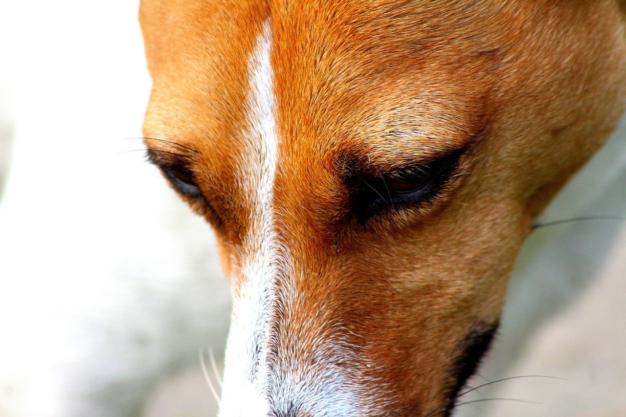 One Animal Animal Themes Pets Domestic Animals Dog Close-up Animal Head  Mammal Animal Nose Brown No People Zoology Animal Loyalty Jack Russell This Morning Haslingden Halo Fox Face Nature Dog Walker