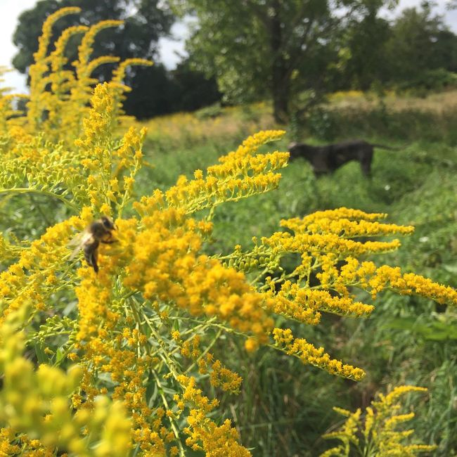 The bee and the dog. Flower Yellow Nature Beauty In Nature Bee insect Dog Summer Summertime