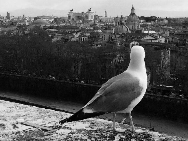 Roma Rome Castel Sant'Angelo Gabbiano Johnathan