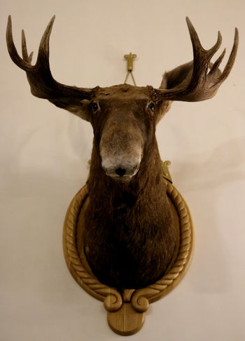 Elk Moose Trophy Animals Hunting Trophy Nesvizh Castle