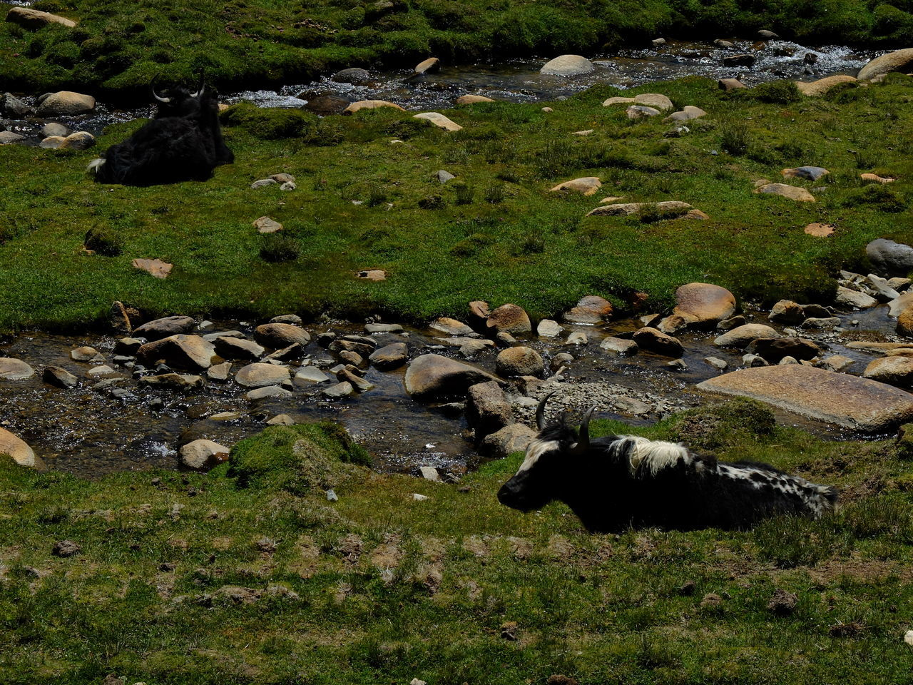 Animal Themes Day Domestic Animals Flock Of Sheep Grass Grazing High Angle View Jammu And Kashmir Large Group Of Animals Leh Ladakh Mammal Nature No People Outdoors Sheep