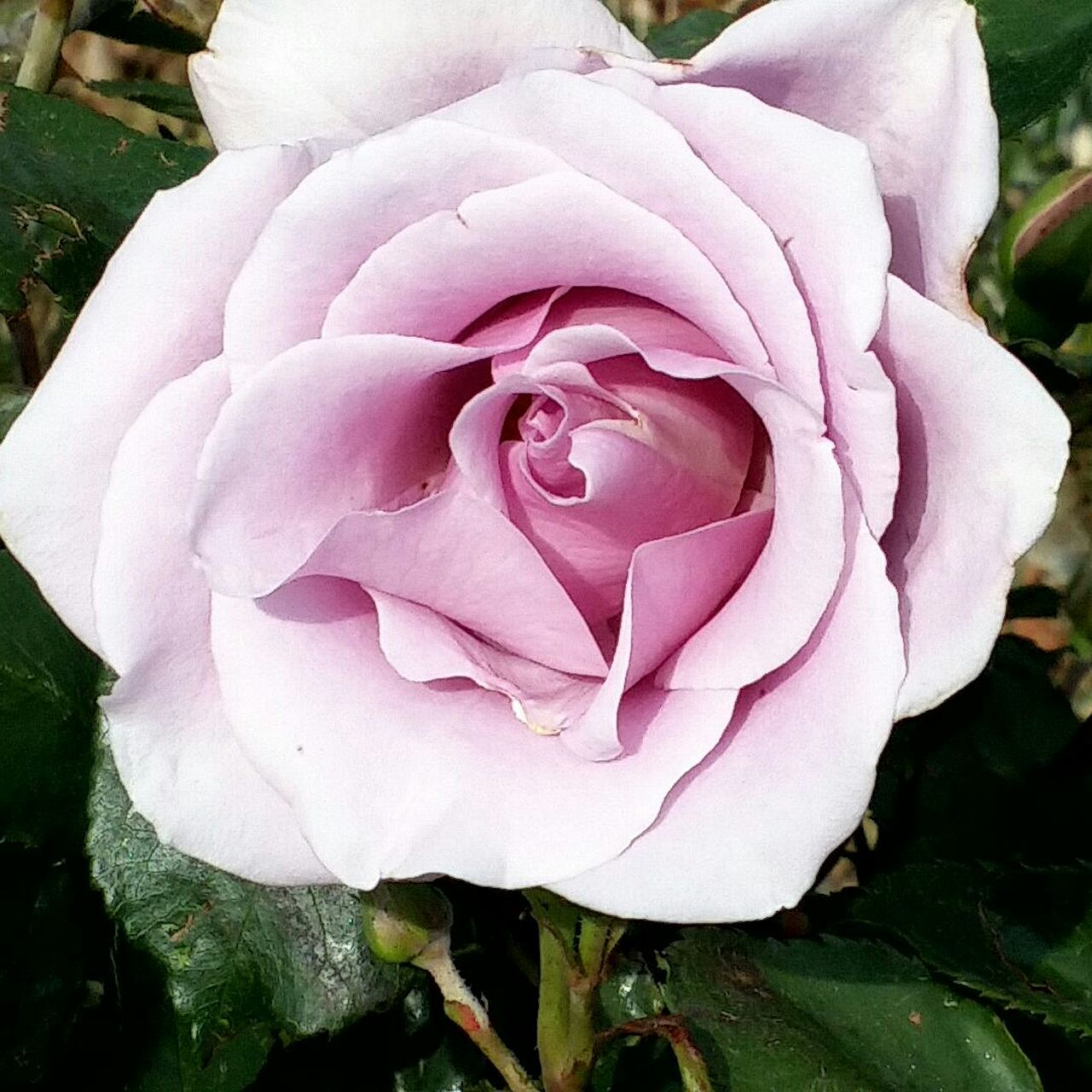 flower, petal, nature, fragility, beauty in nature, flower head, growth, rose - flower, plant, no people, close-up, freshness, pink color, outdoors, day, blooming