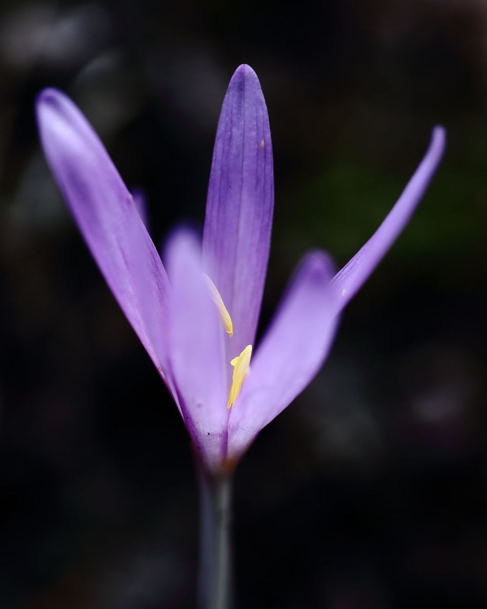 Colchicum blossom. Autumn Autumn Colors Autumn Crocus Blossom Botany Close-up Colchicum Complementary Colors Contrast Bye-bye Summer! Black Background Copy Space Flower Head Fragility Herbstzeitlose Light And Darkness  Light And Shadow Macro Minimalism Nature Purple Season  Softness Still Life Vibrant Color