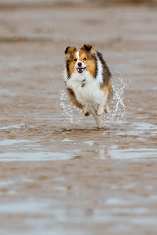 Sheltie having fun at the beach Having Fun At The Beach At The Beach Today ♡ Day Dog Domestic Animals Mammal Motion No People Outdoors Pets Running Sheltie Shetland Collie Shetland Sheepdog Water