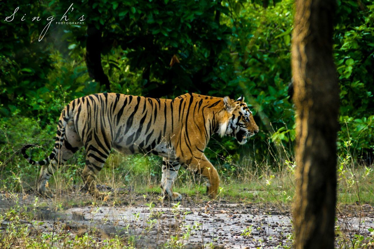 SaveTigers Tiger Jungle Wildlife Bandhavgarh Indianforest Forest India