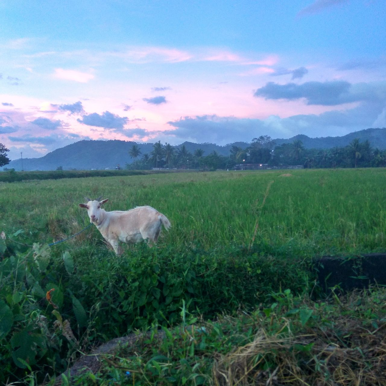 Sky Goat Hills Field Grass TravelPhilippines Outdoor Animal