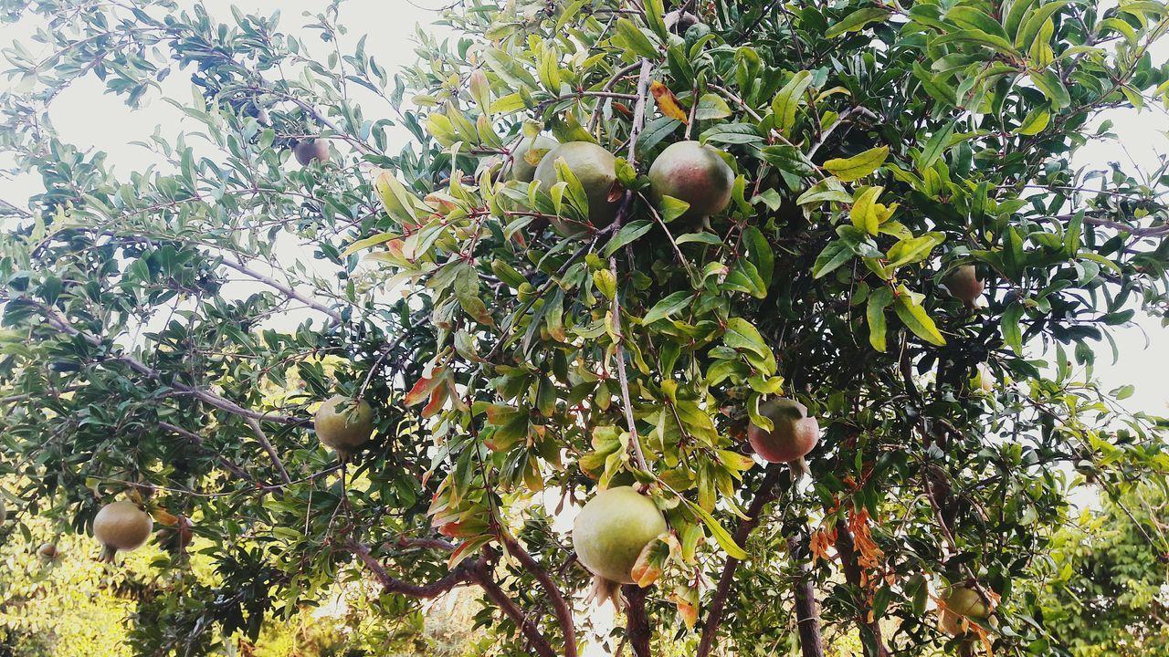 Pomegranate Tree My Garden @my Home Natural Beauty Nature Photography Garden Tree Taking Photos ❤