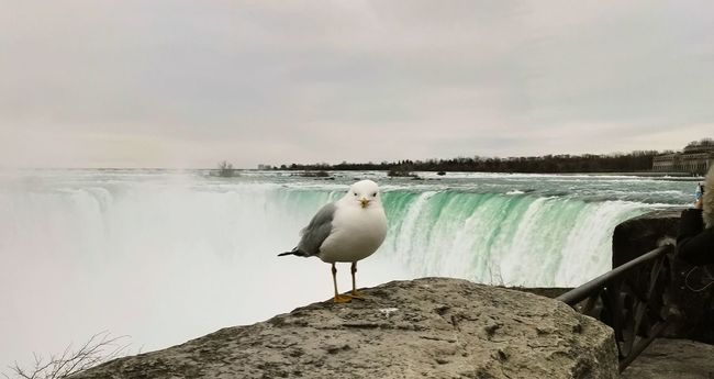 Hanging Out Taking Photos Check This Out Hello World Enjoying Life Seagull Niagara Falls Water Water_collection Spring Tourist