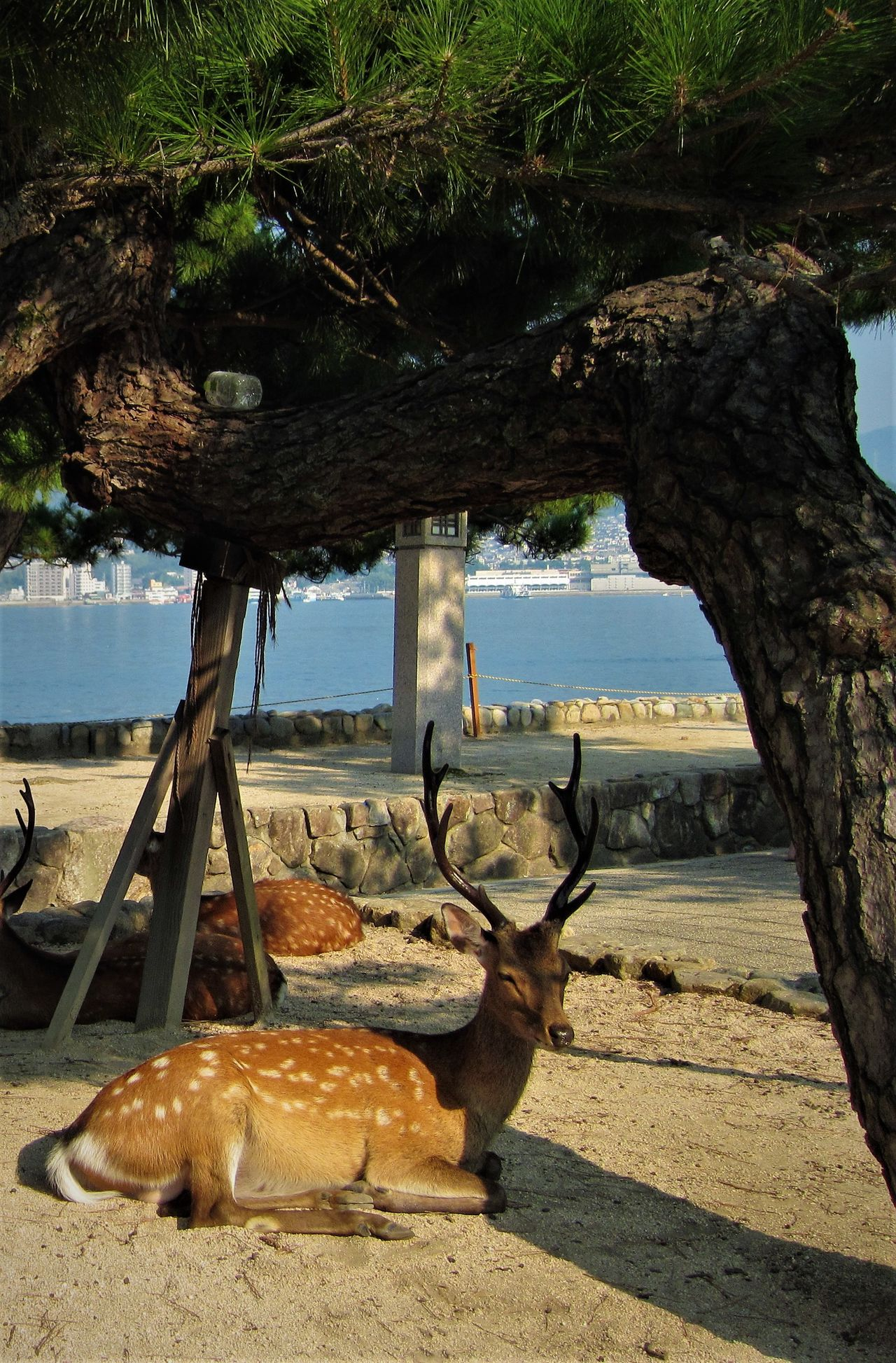 Miyajima Deer Animal Themes Animals In The Wild Antler Beauty In Nature Day Deer In The Shade Japan Japan Photography Japanese  Japanese Style Mammal Miyajima Nature No People Outdoors Resting Resting Place Sea Shade Sleeping Stag Tree Under The Tree Wildlife The Great Outdoors - 2017 EyeEm Awards